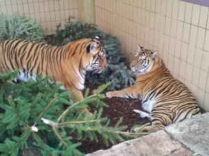 Kiara und Tiger 08.01.2014 fb