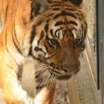 """Tiger nahm den """"Pieks"""" gelassen hin."""