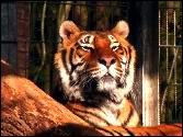 Tiger genießt ein Sonnenbad